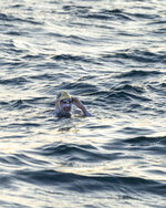 This undated photo shows American swimmer Sarah Thomas, 37, swims the English Channel. The American cancer survivor has become the first person to swim across the English Channel four times in a row completing the remarkable feat Tuesday morning Sept. 17, 2019, after more than 54 hours of swimming. (Jon Washer via PA via AP)