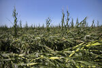 Damaged corn crops lie in a field on Tuesday, Aug. 11, 2020, in Polk City, Iowa. Farmers across a wide swath of Iowa are dealing with the heartbreaking aftermath of a rare wind storm, known as a derecho, that turned what was looking like a record corn crop into deep losses for many. (Olivia Sun/The Des Moines Register via AP)