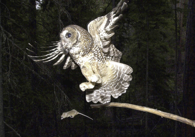 FILE - In this May 8, 2003, file photo, a Northern Spotted Owl flies after an elusive mouse jumping off the end of a stick in the Deschutes National Forest near Camp Sherman, Ore. The Trump administration has slashed more than 3 million acres of protected habitat for the northern spotted owl in Oregon, Washington and northern California, much of it in prime timber locations in Oregon's coastal ranges. Environmentalists are accusing the U.S. Fish and Wildlife Service under President Donald Trump of taking a