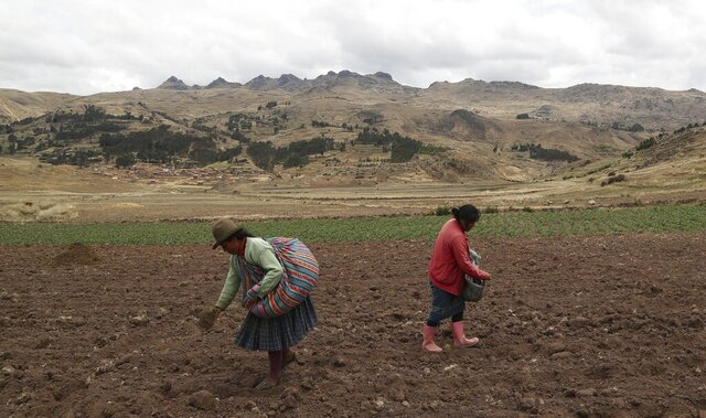 Women sow potatoes in a field in Pisac, in southern rural Peru, Friday, Oct. 30, 2020. Small farmers in Peru provide a majority of the food that ends up on the South American nation's dinner tables. But a severe economic contraction has left many peasants bankrupt and uncertain about whether they will be able to keep growing crops. (AP Photo/Martin Mejia)
