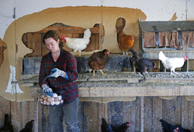 FILE-In this Friday, April 15, 2016 file photo, Heather Retberg collects eggs at the Quill's End Farm in Penobscot, Maine. Maine might join a growing number of states that require cage-free facilities for chickens that lay eggs for commercial consumption. A state lawmaker has proposed requiring producers that sell eggs in the state to follow guidelines that include cage-free housing systems that allow chickens to engage in behaviors such as perching and spreading their wings. (AP Photo/Robert F. Bukaty)