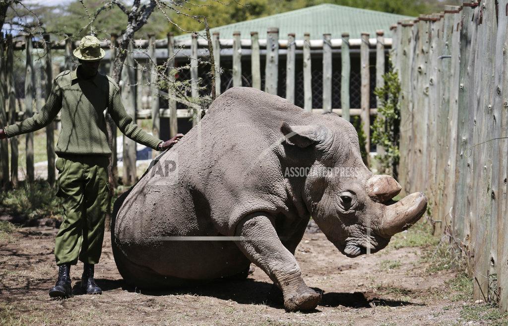 Kenya Ailing Rhino