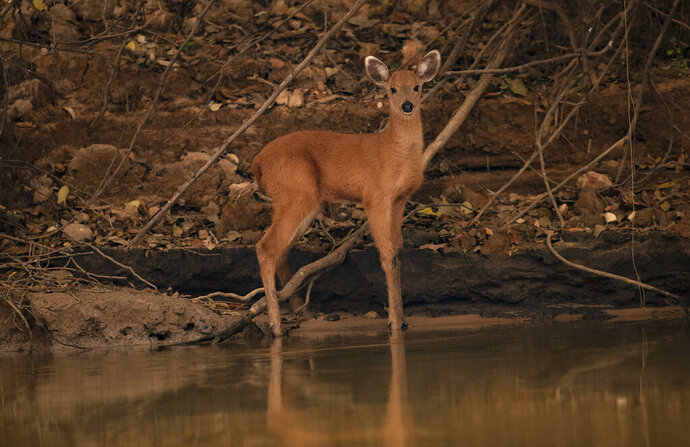 A fawn stands on the banks of the Piqueri river in the Encontro das Aguas Park near Pocone, Mato Grosso state, Brazil, Saturday, Sept. 12, 2020. The Pantanal is the world's largest tropical wetlands, popular for viewing jaguars, along with caiman, capybara, deer and more. This year the Pantanal is exceptionally dry and burning at a record rate. (AP Photo/Andre Penner) (AP Photo/Andre Penner)