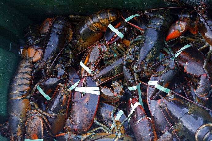 FILE -In this Saturday, Aug. 24, 2019 file photo, a crate of lobsters is seen at Cape Porpoise, in Kennebunkport, Maine. A drop in the catch of lobsters off Maine has customers paying more for the seafood and fishermen concerned about the future. (AP Photo/Robert F. Bukaty, File)