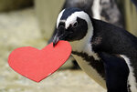 A penguin carries heart-shaped nesting material which it received from biologists as a Valentine's Day promotion at the California Academy of Sciences Tuesday, Feb. 13, 2018, in San Francisco. (AP Photo/Marcio Jose Sanchez)