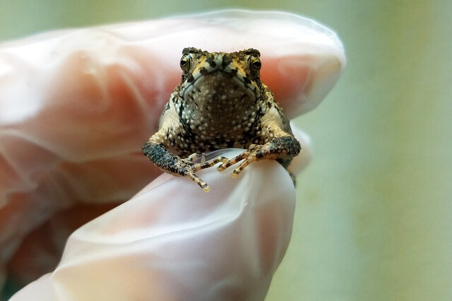 In this Sept 25, 2019 handout photo provided by the Fort Worth Zoo, Olaf is held by primary Puerto Rican crested toad zoo keeper Kelsey Barron, at the Fort Worth Zoo, in Fort Worth, Texas. Officials told The Associated Press Friday, Nov. 22, 2019, that Olaf, a critically endangered Puerto Rican toad, is one of more than 300 toads born via in vitro fertilization as U.S. scientists attempt to save it from extinction. (Fort Worth Zoo photo via AP)