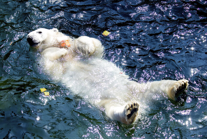 A polar bear swims in the water at the zoo in Hannover, Germany, Wednesday, June 26, 2019. A heatwave hits Germany and Europe. (Hauke-Christian Dittrich/dpa via AP)