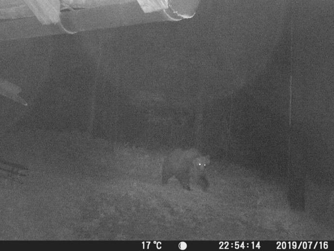 This image made from a photo trapping system of the Autonomous Province of Trento and made available Wednesday, July 17, 2019 shows a bear, dubbed M49, at 22.54pm on Tuesday, July 16, 2019 walking in a forest after its escape from an electrified enclosure, in the woods of Marzola, near Trento, northern Italy. The brown bear has eluded capture for a third day Wednesday, while appeals mounted for the animal to stay unharmed. (Autonomous Province of Trento via AP)