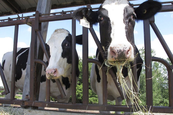 "FILE - Cows on pasture at the University of Vermont dairy farm eat hay in a Thursday, July 23, 2020 file photo, in Burlington, Vt. The dairy industry has a familiar question for you: ""Got milk?"" Six years after the popular tagline was retired, ""Got milk?"" ads are back. The dairy industry is reviving the campaign hoping to prolong the U.S. sales boost milk has gotten during the pandemic. (AP Photo/Lisa Rathk, Filee)"