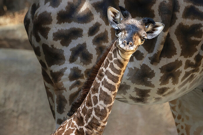 In this Oct. 16, 2019, photo provided by The Los Angeles Zoo, a baby giraffe looks out from her enclosure at the zoo. The zoo announced this week that a the female Masai giraffe was born on Oct. 5, the fifth baby for the mother, Hasina and the sixth for the father, Phillip. (Jamie Pham/The Los Angeles Zoo via AP)