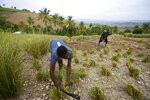 In this May 27, 2019 photo, Frito Absolu uses a machete to trim vetiver plants on a hillside in Les Cayes, Haiti. Vetiver oil, which is used for cosmetics, soaps and aromatherapy, is the one bright spot in a flailing agricultural industry in Haiti beset by widespread erosion, lack of funding and extreme weather conditions including droughts and floods. (AP Photo/Dieu Nalio Chery)