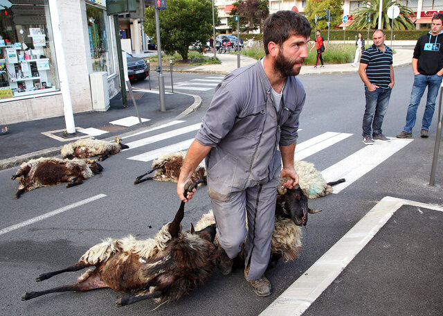 FILE - In this Sept.2, 2019 file photo, shepherd Romain Jaurigueberry brings dead sheep to sub-prefecture of Bayonne, southwestern France, to protests against the rising bear attacks on sheep herds in Pyrenees mountains. Farmers who raise sheep for milk and meat high in the Pyrenees mountains are rejoicing after French President Emmanuel Macron promises them that he'll not authorize the release into the wild of any more bears responsible for increasingly deadly attacks on herders' flocks. (AP Photo Bob Edme, File)
