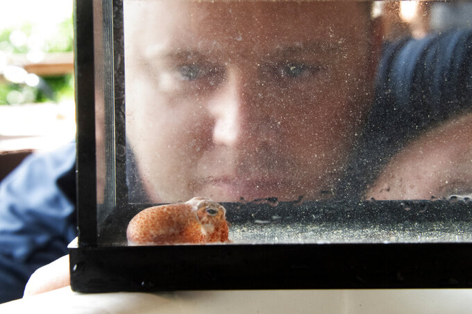 Lab manager Randall Scarborough looks at a squid in Honolulu on June 11, 2021. Dozens of baby squid from Hawaii are in space for study. The baby Hawaiian bobtail squid were raised at the University of Hawaii's Kewalo Marine Laboratory and were blasted into space earlier this month on a SpaceX resupply mission to the International Space Station. (Craig T. Kojima, Honolulu Star-Advertiser via AP)