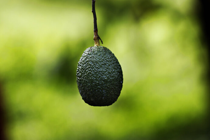 """This Oct. 1, 2019 photo shows an avocado hanging in an orchard near Ziracuaretiro, in the Mexican state of Michoacan state, the heartland of world production of the fruit locals call """"green gold.""""  The country supplies about 43% of world avocado exports, almost all from Michoacan.  (AP Photo/Marco Ugarte)"""