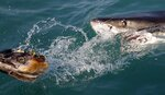FILE - In this Aug. 11, 2016, file photo, a great white shark tries to bite a fish head being trolled though the water as researchers chum the ocean looking for sharks off the coast of Gansbaai, South Africa. Seals are thriving off the Northeast United States coast thanks to decades of protections. That victory for wildlife has brought a consequence for humans: more encounters with sharks. The Monday, July 27, 2020, death of swimmer Julie Dimperio Holowach, who was killed by a great white off Harpswell, Maine, might have happened because the shark mistook her for a seal, authorities said. (AP Photo/Schalk van Zuydam, File)