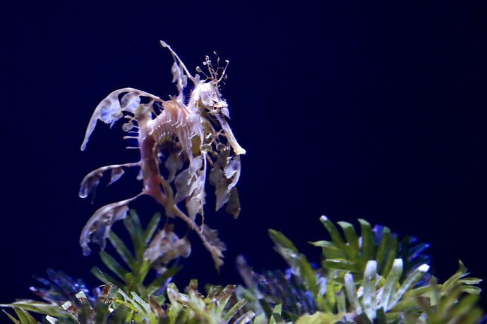In this Friday, May 17, 2019 photo, a sea dragon swims at the Birch Aquarium at the Scripps Institution of Oceanography at the University of California San Diego in San Diego. The Southern California aquarium has built what is believed to be one of the world's largest habitats for the surreal and mythical sea dragons outside Australia, where the native populations are threatened by pollution, warming oceans and the illegal pet and alternative medicine trades. (AP Photo/Gregory Bull)