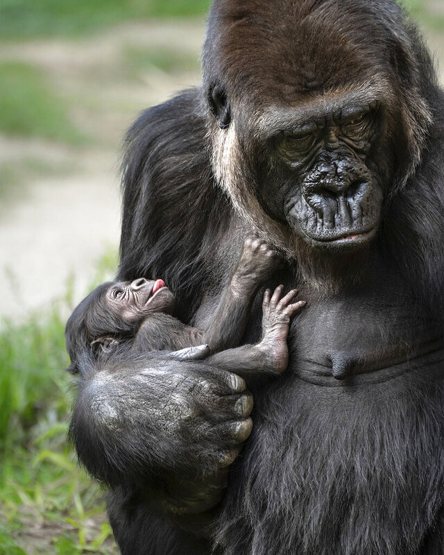In this Friday, Feb. 7, 2020 photo provided by the The Los Angeles Zoo & Botanical Gardens shows female Western Lowland Gorilla, N'djia, and her newborn baby rest in their enclosure at the zoo in Los Angeles. The zoo announced the female baby gorilla was born on Jan. 18, 2020. The baby, who doesn't yet have a name, is the first gorilla born at the zoo in more than 20 years. (Jamie Pham/The Los Angeles Zoo & Botanical Gardens via AP)