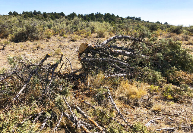FILE - In this Aug. 15, 2019, file photo, is a juniper tree cut down as part of a giant project to remove junipers encroaching on sagebrush habitat needed by imperiled sage grouse in southwestern Idaho. Conservation groups are blasting a Trump administration decision streamlining environmental reviews of timber salvage projects and cutting down pinyon-juniper woodlands on millions of acres in the U.S. West. WildEarth Guardians, Western Watersheds Project and seven other groups say the rules approved Thursday, Dec. 10, 2020, fast-track projects to benefit logging, grazing and mining while eliminating public comments. (AP Photo/Keith Ridler, File)