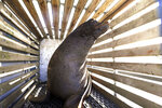 FILE - In this March 14, 2018 file photo, a California sea lion that was trapped at Willamette Falls in the lower Willamette River waits to be released into the Pacific Ocean near Newport, Ore. Oregon wildlife officials have started killing sea lions that threaten a fragile run of winter steelhead in the Willamette River. The state Department of Fish and Wildlife obtained a federal permit in November to kill up to 93 California sea lions per year below Willamette Falls south of Portland, Oregon Public Broadcasting reported Wednesday, Jan. 9, 2019. (AP Photo/Don Ryan, File)
