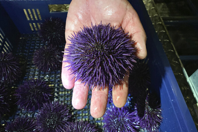 In this May 20, 2019 photo, a purple urchin is held at Bodega Marine Lab, which is running a pilot project to remove purple urchins from the ocean floor, feed and restore them to health, then sell them as premium seafood in Bodega Bay, Calif. Tens of millions of voracious purple sea urchins that have already chomped their way through towering underwater kelp forests in California are now spreading north to Oregon, sending the delicate marine ecosystem off the shore into such disarray that other critical species are starving to death. (AP Photo/Terry Chea)