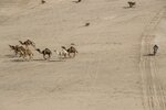 Charlie Herbst of France rides his KTM motorbike next a herd of camels during stage two of the Dakar Rally, between Al Wajh and Neom, Saudi Arabia, Monday, Jan. 6, 2020. (AP Photo/Bernat Armangue)