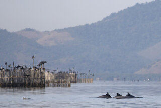 Rio Olympics Dolphins in Bay
