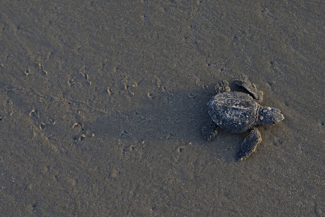 File-This June 16, 2016, file photo shows a Kemp's ridley sea turtle hatchling crawling across the beach at Padre Island National Seashore during the 4th public sea turtle hatching release. Federal regulators have vastly scaled back a plan to make more shrimpers include escape hatches for small sea turtles in their nets. A conservation group, the Center for Biological Diversity, calls it