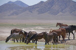 FILE - In this June 29, 2018 file photo, wild horses drink from a watering hole outside Salt Lake City. Acting U.S. Bureau of Land Management Director William Perry Pendley says it will take $5 billion and 15 years to get an overpopulation of wild horses under control on western federal lands. But he told reporters Wednesday, Oct, 23, 2019, several new developments have made him more optimistic than he's been in years about his agency's ability to eventually shrink the size of the herds from 88,000 to the 27,000 he says the range can sustain ecologically. (AP Photo/Rick Bowmer, File)