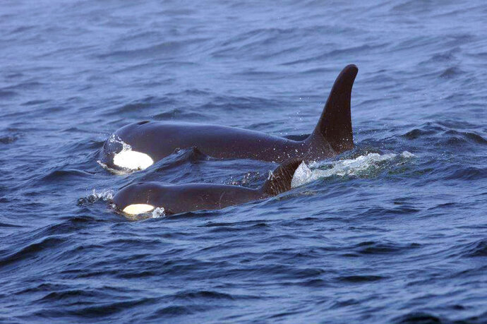 FILE - In this Aug. 7, 2018, file photo, Southern Resident killer whale J50 and her mother, J16, swim off the west coast of Vancouver Island near Port Renfrew, B.C. Teams searched Thursday, Sept. 13, 2018, for the sick, critically endangered orca in the waters of Washington state and Canada, but a scientist who closely tracks the population in the Pacific Northwest said he believes the whale, known as J50, has died. (Brian Gisborne/Fisheries and Oceans Canada via AP, file)