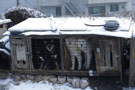 South Korea Kenworthy Korean Dog Rescue