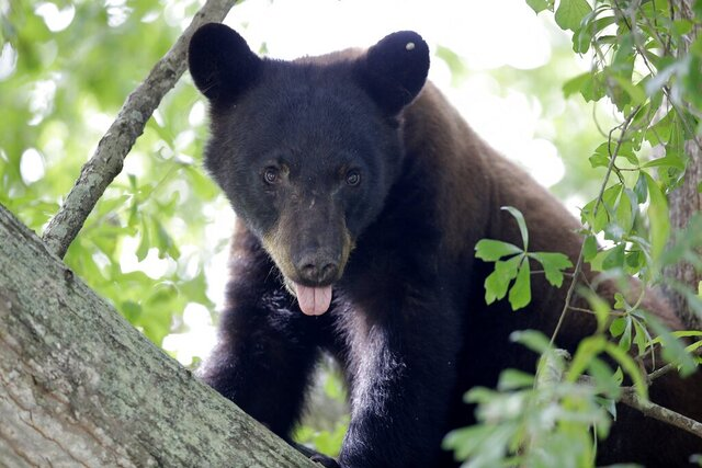 "FILE - In this May 17, 2015, file photo, a Louisiana black bear, sub-species of the black bear that was protected under the Endangered Species Act, is seen in a water oak tree in Marksville, La. A federal judge in Washington has thrown out a lawsuit on Friday, Feb. 7, 2020, seeking to return federal protection to the real bears that inspired teddy bears. The people and environmental groups who sued in 2018 didn't provide any evidence to back up their claims that they would be hurt by the decision to remove Louisiana black bears from the ""threatened"" list, wrote District Judge John Bate. (AP Photo/Gerald Herbert, File)"