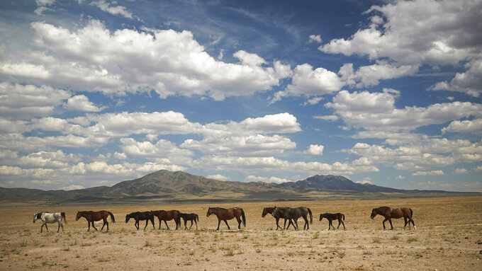 Wild horses walk to a water trough on July 8, 2021, near U.S. Army Dugway Proving Ground, Utah. Horses from this herd were later rounded up as federal land managers increased the number of horses removed from the range during an historic drought. They say it's necessary to protect the parched land and the animals themselves, but wild-horse advocates accuse them of using the conditions as an excuse to move out more of the iconic animals to preserve cattle grazing. (AP Photo/Rick Bowmer)
