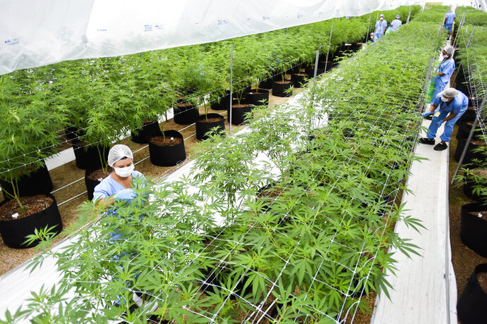 FILE - In this Jan. 30, 2019 file photo, employees prune marijuana plants at a Fotmer SA, greenhouse in Nueva Helvecia, Uruguay. On April 24, 2019, Fotmer in Uruguay and another company in Colombia announced they will become the first to export legal medical marijuana products from Latin America to Europe, part of what the firms hope will become a growing trade. (AP Photo/Matilde Campodonico, File)