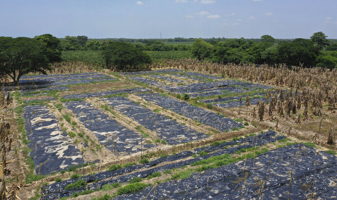 Black, plastic sheets cover a banana plantation hit by a disease that ravages the crops on a plantation near Riohacha, Colombia, Thursday, Aug. 22, 2019. Officials have uprooted trees where the fungus has been detected and covered the soil with black plastic sheets that raise the temperatures to levels that could stop the disease from spreading. (AP Photo/Manuel Rueda)