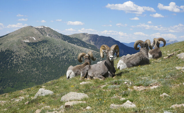 In this July 4, 2019 photo, Rocky Mountain bighorn sheep sit on Penitente Peak in the Pecos Wilderness northeast of Santa Fe, N.M. Rocky Mountain bighorn sheep were extirpated from New Mexico by the early 1900,s but through restoration efforts have grown to a population of approximately 1,700 across 11 herds in Northern New Mexico. (Matt Dahlseid/Santa Fe New Mexican via AP)