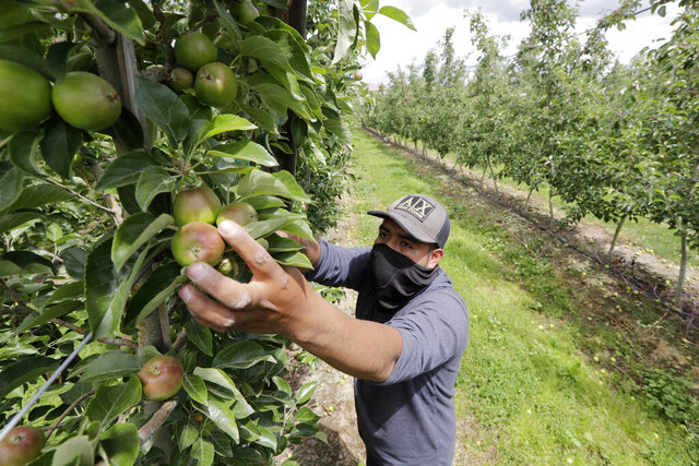 FILE - In this June 16, 2020, file photo, orchard worker Francisco Hernandez reaches to pull honey crisp apples off a tree during a thinning of the trees at an orchard in Yakima, Wash. The agriculture industry is asking Washington state Gov. Jay Inslee to move migrant farmworkers and food factory workers closer to the front of the line for the coronavirus vaccine because they perform work that cannot be delayed or performed remotely. (AP Photo/Elaine Thompson, File)