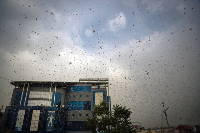 This May 10, 2020 photo shows locusts swarming over city and near by area in Ajmer, Rajasthan, India. More than half of Rajasthan's districts are affected by this worst attack. An invasion of locust swarms is posing a challenge to India's farmers who are already struggling with economic instability due to the virus lockdown. Authorities estimate that desert locusts have engulfed more than 40,000 hectares in seven of India's heartland states, raising concerns among farmers about the upcoming summer crop. (AP Photo/Deepak Sharma)
