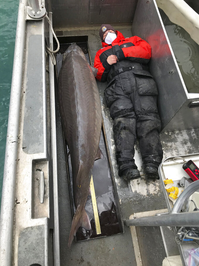 "This April 22, 2021 photo provided by U.S. Fish and Wildlife Service shows a 240-pound (108.8 kilograms) sturgeon that could be more than 100 years old was caught last week in the Detroit River by the U.S. Fish and Wildlife Service with a USFWS staffer laying next to it. The 240-pound, nearly 7 foot long fish, assumed to be a female was quickly released back into the river"" after being weighed and measured into the river. (U.S. Fish and Wildlife Service via AP)"