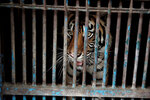 In this photo released by Jakarta province government, a sumatran tiger who contracting COVID-19 looks out from a cage at the Ragunan Zoo in Jakarta, Indonesia, July 31, 2021. Two rare Sumatran tigers at the zoo in the Indonesian capital are recovering after being infected with COVID-19. (Dadang Kusuma WS/Jakarta Province Government via AP)