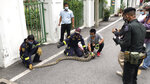 In this image made from video, firefighters display a reticulated python captured in Benjasiri Park in Bangkok, Thailand on Thursday, July 15, 2021. Bangkok parkgoers looking for relief from renewed coronavirus restrictions got a slithering surprise Thursday when a python as long as two of the Thai capital's ubiquitous motorbikes was spotted in one of the popular green space. (AP Photo/Adam Schreck)