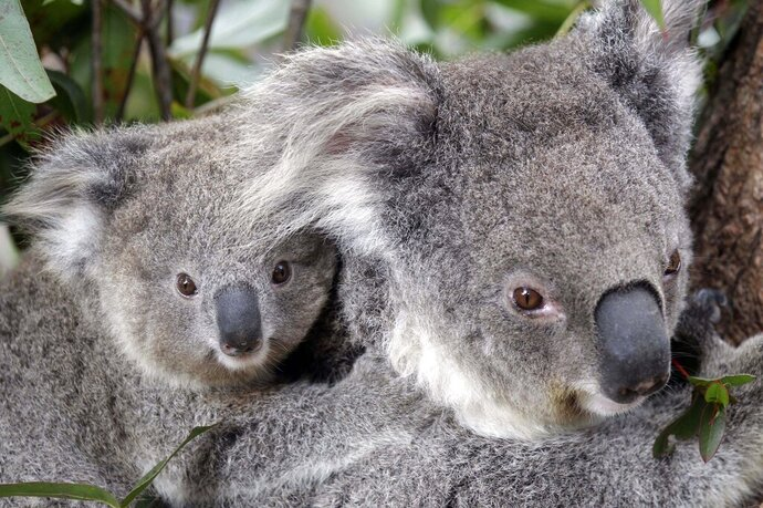 FILE - In this Sept. 1, 2011, file photo, two Koalas climb a tree at a zoo in Sydney, Australia. Conservationists fear hundreds of koalas have perished in wildfires that have razed prime habitat on Australia's east coast. (AP Photo/Rob Griffith, File)