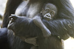 This May, 4, 2020, photo released by the Woodland Park Zoo shows a 2 1/2-month-old male gorilla, Kitoko, with mom Uzumma. Kitoko was injured during a skirmish among his six-member family group in Seattle.  Animal health experts say little Kitoko was bitten on the head, likely by accident when another gorilla tried to bite his mother, Uzumma. Kitoko sustained a fractured skull and a severe laceration, but zoo officials say the 2 1/2-month-old gorilla underwent surgery and may survive if he doesn't develop an infection. (Jeremy Dwyer-Lindgren/Woodland Park Zoo via AP)