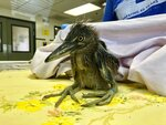 A rescued black-crowned night heron is shown at the International Bird Rescue in Fairfield, Calif., Wednesday, July 17, 2019. An animal rescue group is asking for help caring for dozens of baby snowy egrets and black-crowned night herons left homeless last week after a tree fell in downtown Oakland. (AP Photo/Haven Daley)