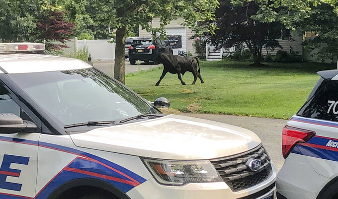 FILE - In this photo provided by Suffolk County Police Department, a bull runs loose along Montgomery Avenue on Tuesday, July 20, 2021, in Mastic, N.Y. A bull that escaped from a farm on Long Island and eluded searchers for two months has been captured. The 1,500-pound (680-kilogram) bull, nicknamed Barney or Barnie, was corralled late Wednesday by staff from Skylands Animal Sanctuary and Rescue,(Suffolk County Police Department via AP, File)