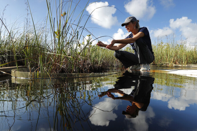 In this Monday, Oct. 21, 2019 photo, Tiffany Troxler, research scientist and professor at Florida International University walks on a boardwalk at a wetlands research site at Everglades National Park near Flamingo, Fla. She's studying wetlands ecosystem ands its relation to sea-level rise. (AP Photo/Robert F. Bukaty)