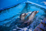 This Tuesday, Feb. 25, 2020, photo shows Sea Life Park's two new sea lions, Niblet and Brawler, that came to Sea Life Park in Waimanalo, Hawaii, from the Pacific Marine Mammal Center in Laguna, Calif., after efforts to rehabilitate and release them failed. (Dennis Oda/Honolulu Star-Advertiser via AP)