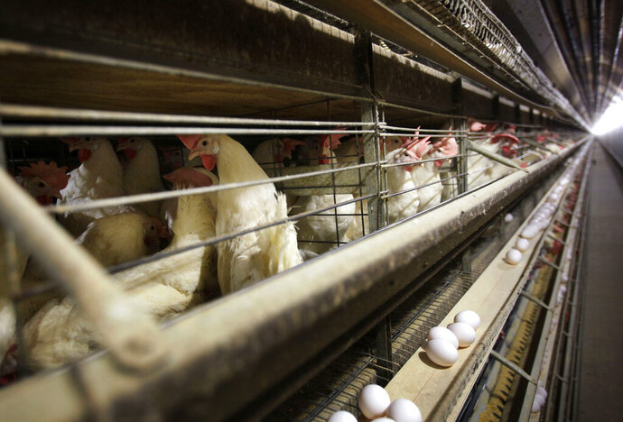 FILE - In this Nov. 16, 2009 file photo, chickens stand in their cages at a farm near Stuart, Iowa. China reopened its market to U.S. poultry, ending a five-year ban. China had blocked U.S. poultry imports after an outbreak of avian influenza in December 2014, closing off a market that bought more than $500 million worth of American chicken, turkey and other poultry products in 2013. (AP Photo/Charlie Neibergall, File)
