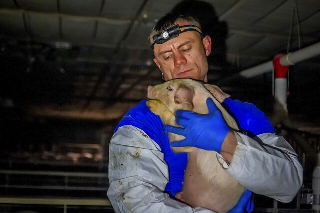 In this April 2019 photo provided by Direct Action Everywhere, Matt Johnson with Direct Action Everywhere, a Berkeley, California-based animal welfare group, holds a pig in a barn on a hog farm owned by Iowa Sen. Ken Rozenboom that the group entered through an unlocked door near Oskaloosa, Iowa. Johnson, one of those who entered the barn, said he submitted a complaint Thursday, Jan. 23, 2020 to the Iowa Department of Agriculture and local law enforcement after seeing conditions in the barn, which he contends constitute criminal animal neglect under Iowa law. (Direct Action Everywhere via AP)