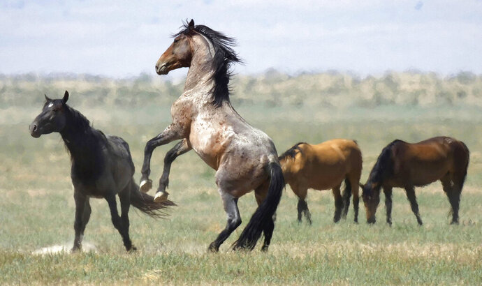 FILE - In this July 18, 2018, file photo, a wild horse jumps among others on Bureau of Land Management land near Salt Lake City. Congressional Democrats are demanding the Interior Department produce an overdue report on plans to manage wild horses roaming federal lands in the West after the head of its public lands agency told reporters it will take $5 billion and 15 years to get overpopulated herds under control. (AP Photo/Rick Bowmer, File)