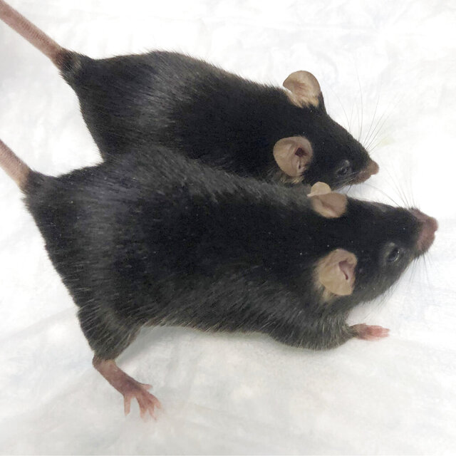 "This August 2020 photo provided by Dr. Se-Jin Lee shows a normal mouse and a ""twice-muscled"" mouse developed at The Jackson Laboratory in Bar Harbor, Maine. Findings published on Monday, Sept. 7, 2020, show that muscle-bound mice, similar to the one pictured, held on to their bodybuilder-type physiques during a one month space mission. (Dr. Se-Jin Lee/University of Connecticut School of Medicine via AP)"